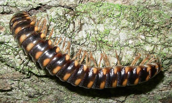 Sigmoria trimaculata