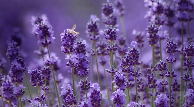 hoa hoải hương