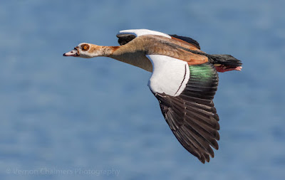 Egyptian Goose in Flight over the Diep River / Table Bay Nature Reserve