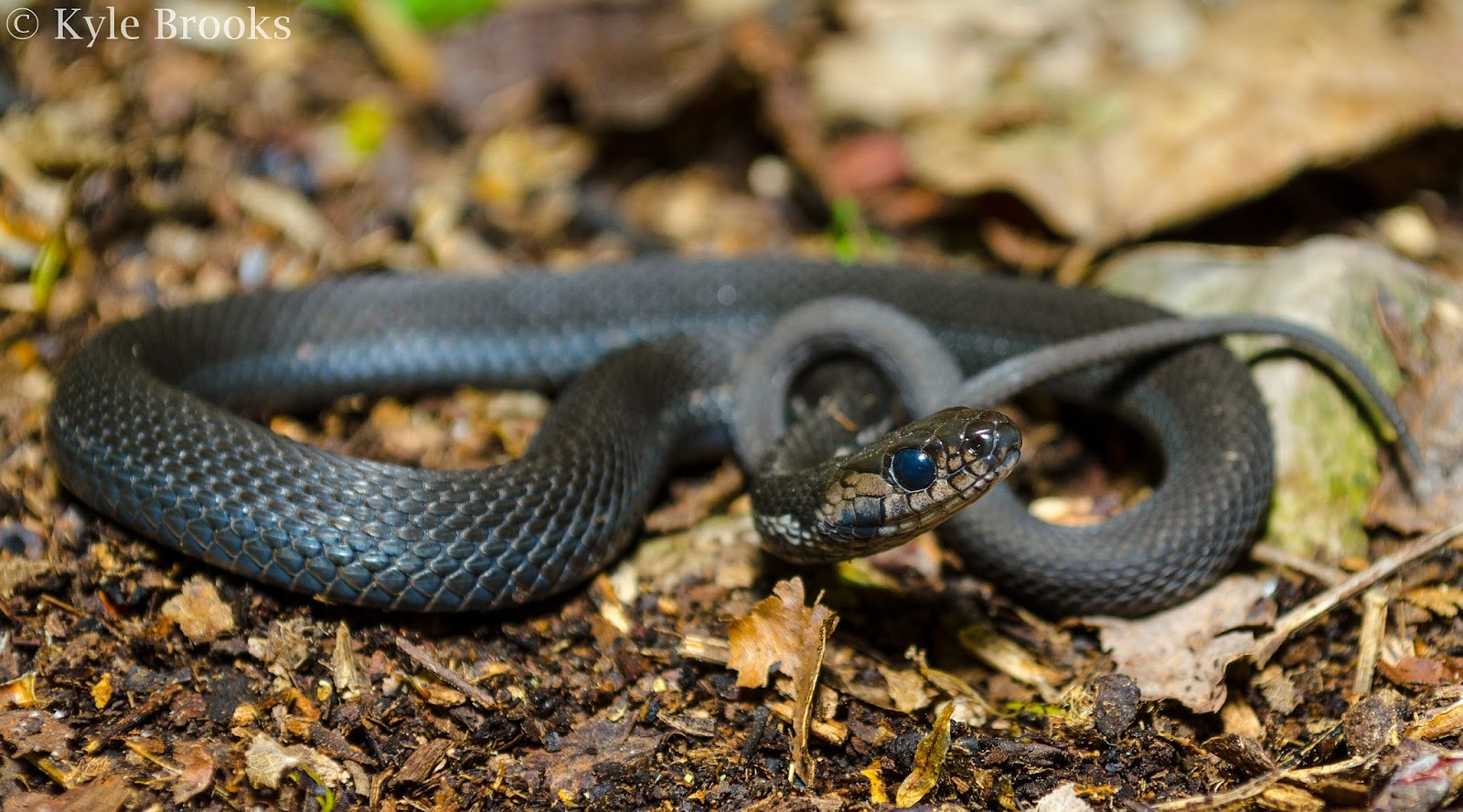 Melanistic Thamnophis sirtalis