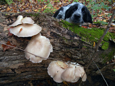 dog and oyster mushrooms
