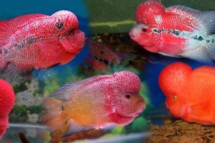 BUDIDAYA IKAN LOUHAN : Cara Beternak Ikan Louhan Dengan Mudah Dan Menghasilkan