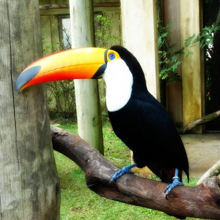 Tucano, no mini-zoológico do Beto Carrero World, em Penha