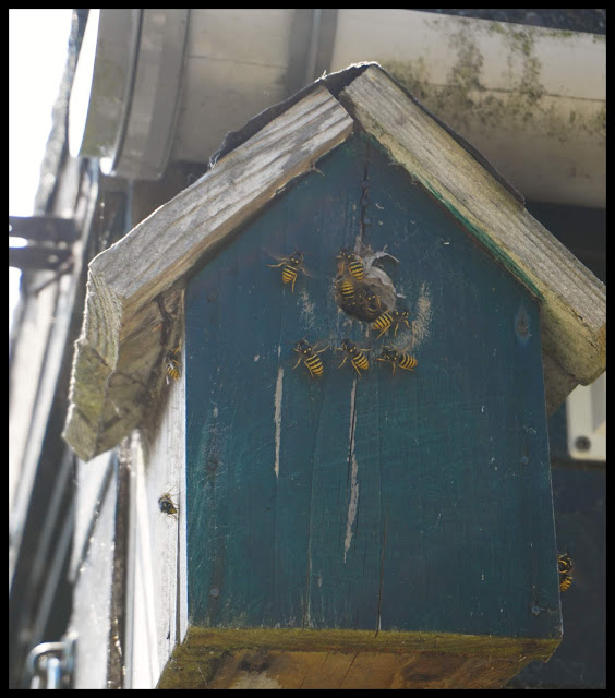 The wasps' nest in the bird box by the the shed door - Carrie Gault 2018