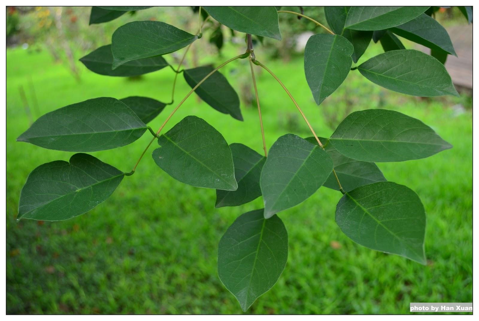 花蓮高農 植物園區: 雞冠刺桐