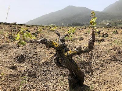 Vitis vinifera.