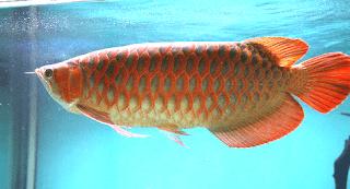 Gambar Arwana Emas Ekor Merah