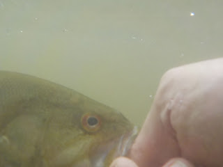 upper potomac smallmouth underwater picture