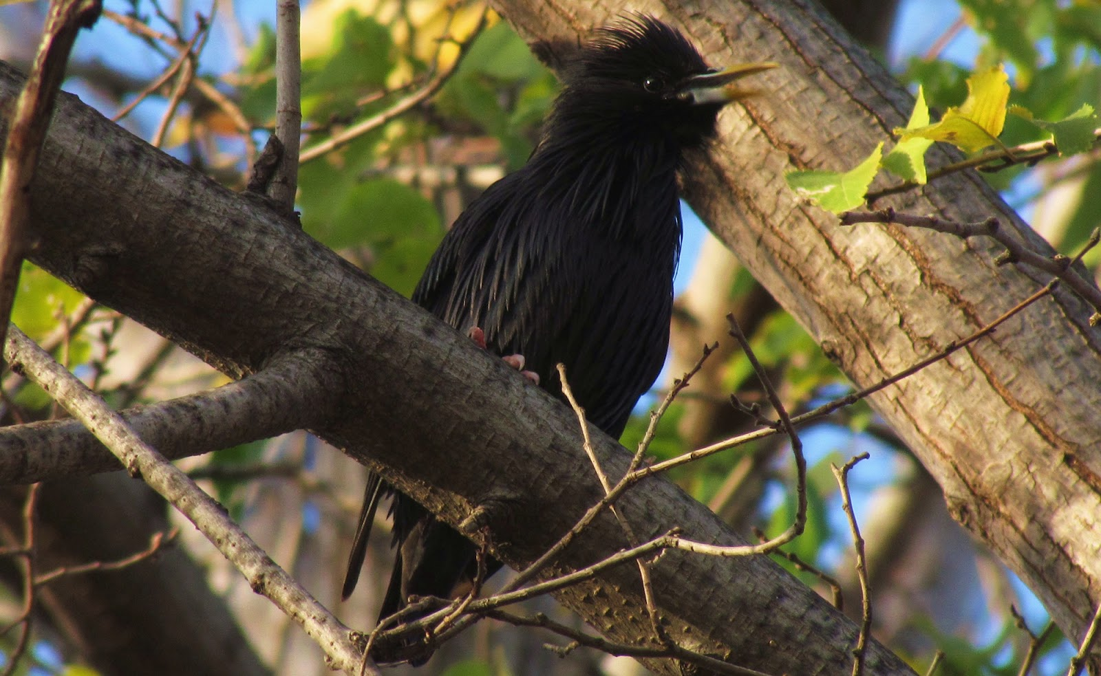 Birding Bros  Blog: Spanish Bird of the Week #2: Spotless Starling