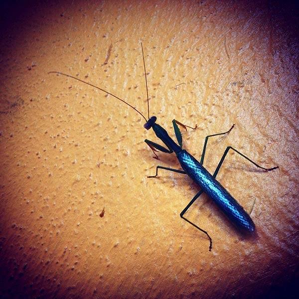 Una hermosa Mantis Religiosa nos acompaña durante el desayuno que tomamos en la terraza del Hotel Flycatcher Inn. A todos nos alegra  regresar a Santa Elena donde podremos comprar  miel y disfrutar de un desayuno en compañía de los dueños de este hoel Kristine y Santiago,  quienes comparten con nosotros historias sobre los antiguos mayas y sobre la selva.