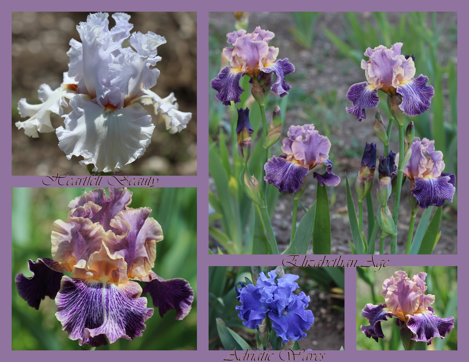 World of irises february 2017 heartfelt beauty margie valenzuela 2012 slight fragrance elizabethan age lowell baumunk 2005 luminata pattern meaning the reverse pattern of a izmirmasajfo Image collections