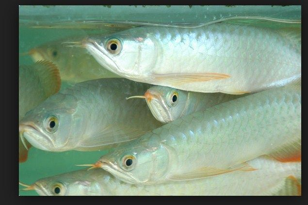Ikan Arwana Silver, cara Merawat dan Kisaran Harganya