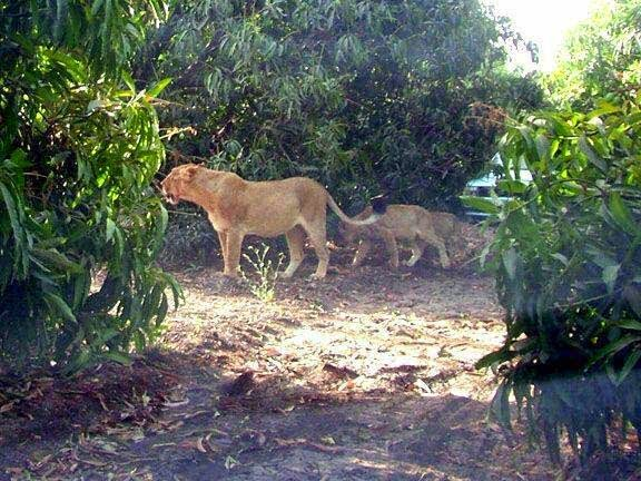lion-family-in-the-jungle-image