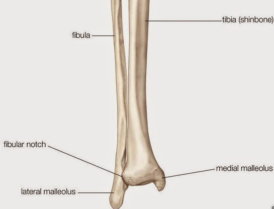Image of a typical lower right leg (from Encyclopedia Britannica)