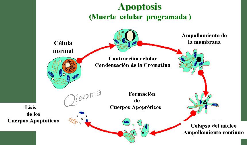 magnetismo terrestre´ , Du Mai y Ren Mai, fases del..