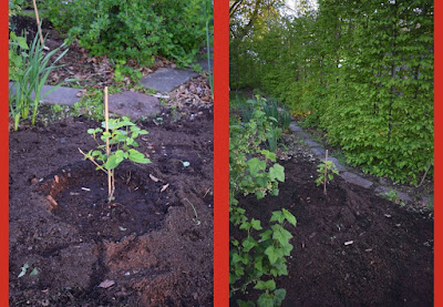 Nyplanterat mullbärsträd