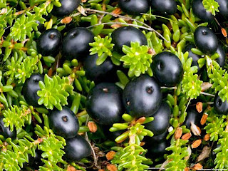 Crowberry fruit images wallpaper