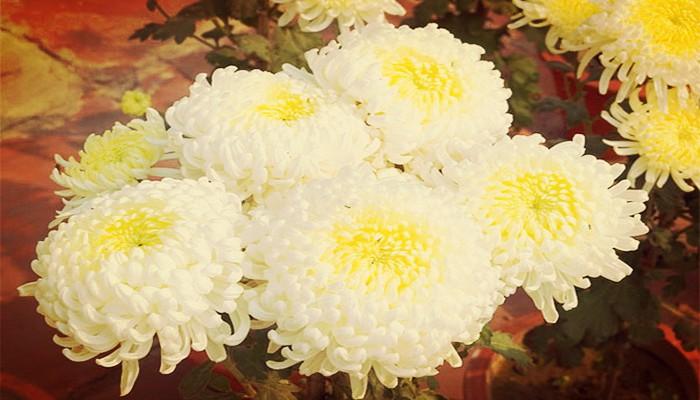 Cuidado del crisantemo
