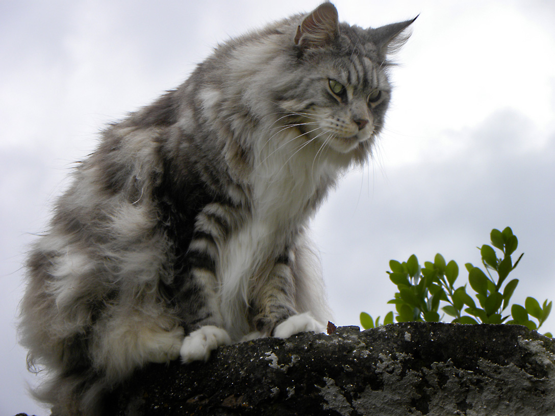 maine coon pets cute and docile. Black Bedroom Furniture Sets. Home Design Ideas