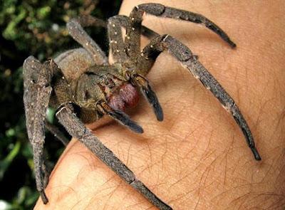 Imágenes de arañas grande sobre un brazo