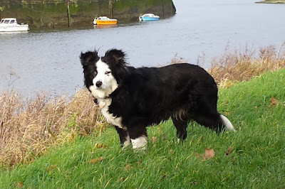 Tosca, my sister's Border Collie is exploring the bank of the Somme River in Saint Valery sur Somme, Picardie, Northern France.
