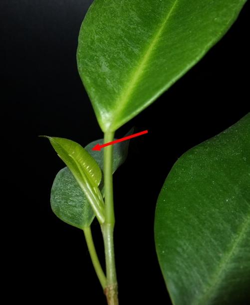 nowy liść