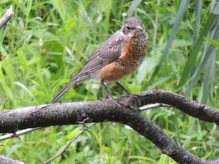 Adolescent Robin perches on a branch.
