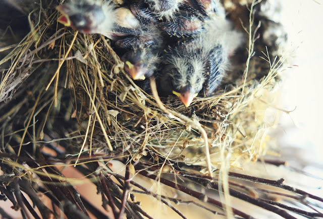 baby_birds_finches_nest