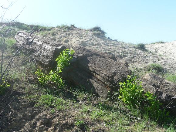Олексієво-Дружківка. Скам'яніла араукарія