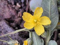 Helianthemum gorgoneum