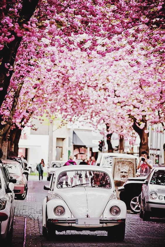 Spring cherry blossoms in bloom above white Volkswagen Beetle