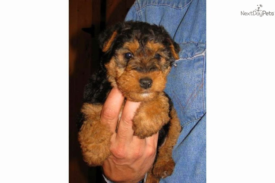 welsh terrier puppy rules of the jungle welsh terrier puppies 2739