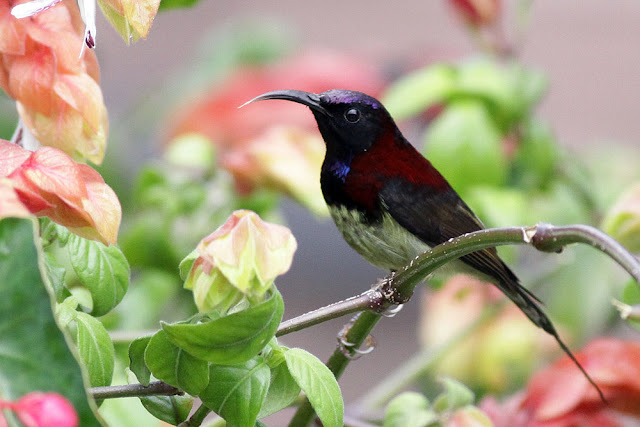 Black-throated Subnbird in front of Puncak Inn Hotel, Fraser's Hill