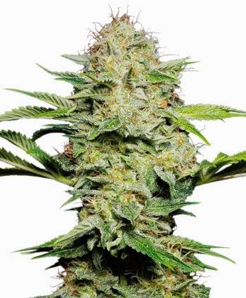 semini-marijuana-sensi-skunk-autofiorente