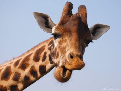 Una Giraffa in Libano
