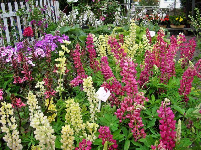 kwiaty, łubin, Otmuchów