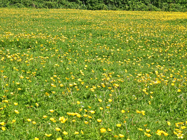 Yellow field, Cornwall