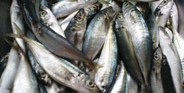 Fakta Ikan Selayang (Ikan Sardin)