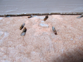 Drywood termites in Phoenix