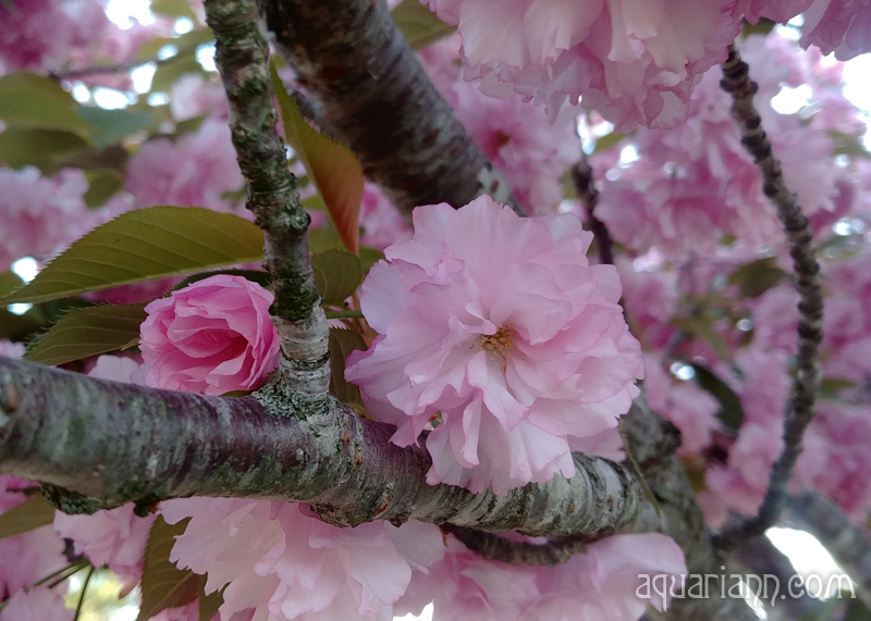 Kwanzan Cherry Blossoms Photo by Aquariann