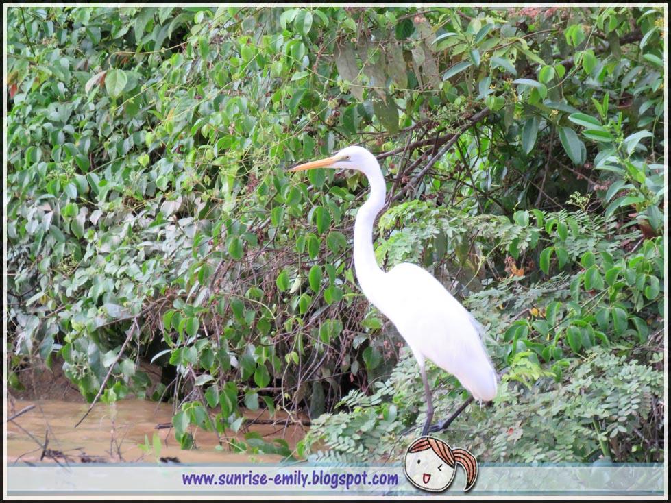 Kinabatangan river cruising-white crane