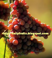 together with is non similar to the other grapes inwards the footing grown on the climber trees or shrubs Sea Grape