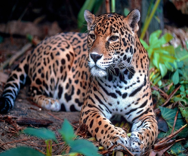 onça-pintada-Panthera-onca