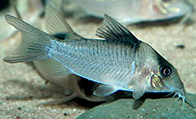 Jenis Ikan Corydorascrypticus