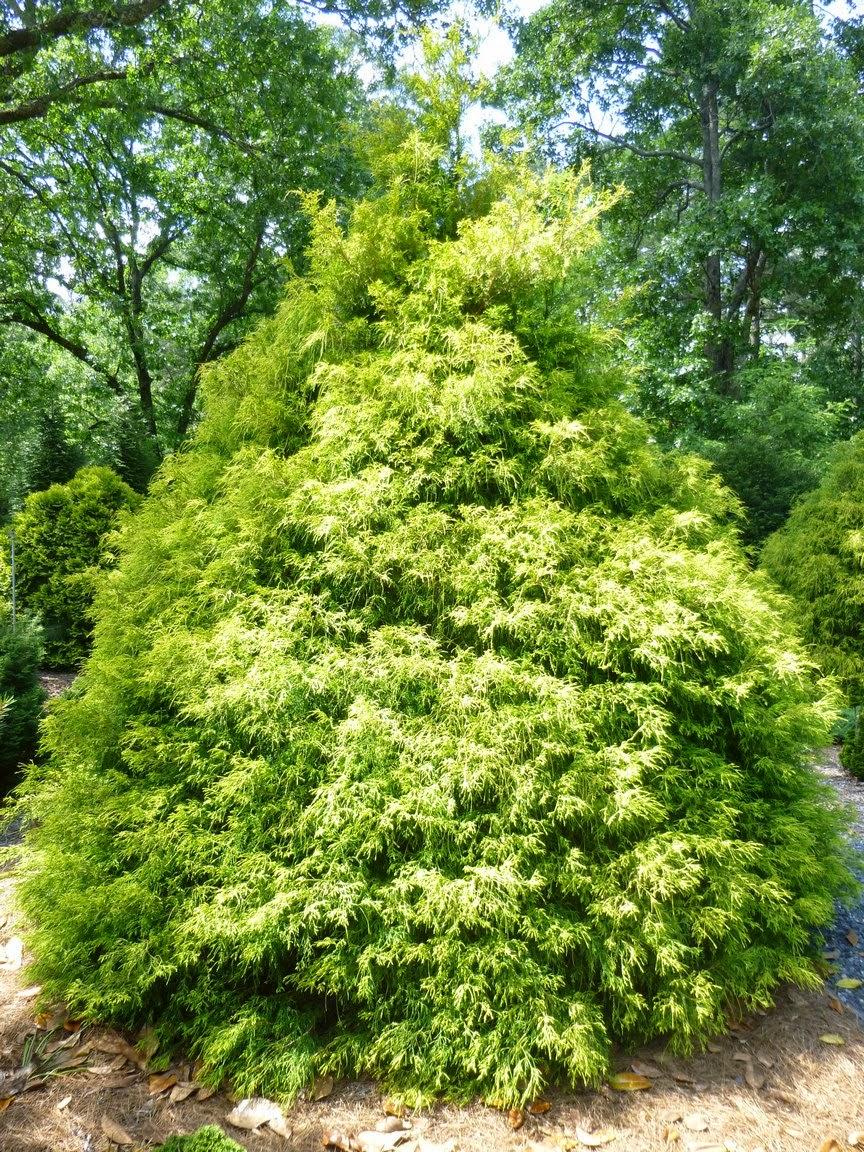 Chamaecyparis pisifera,日本墙上粘上,Sawara Cypress,Filifera Aurea