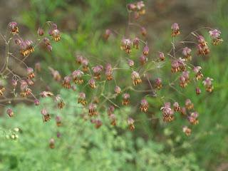 Pigamon des Alpes - Thalictrum alpinum - Pigamon alpin