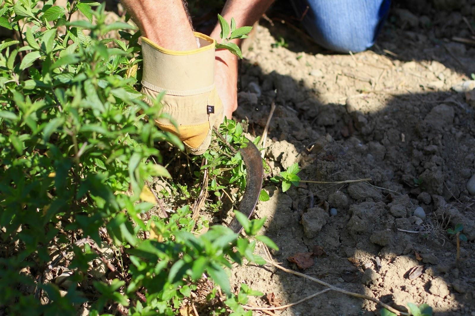récolte menthe poivrée
