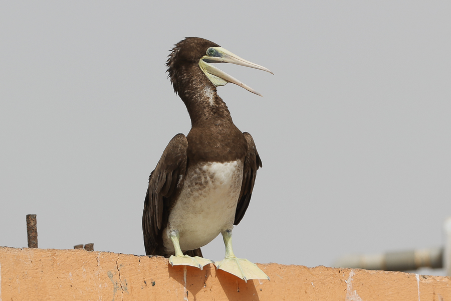 Brown Booby Sula leucogaster
