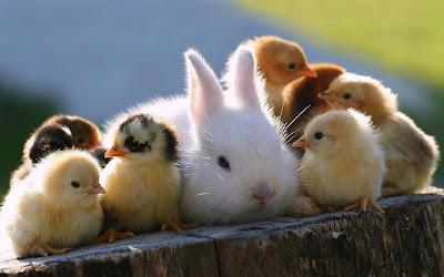 conejo entre pollitos