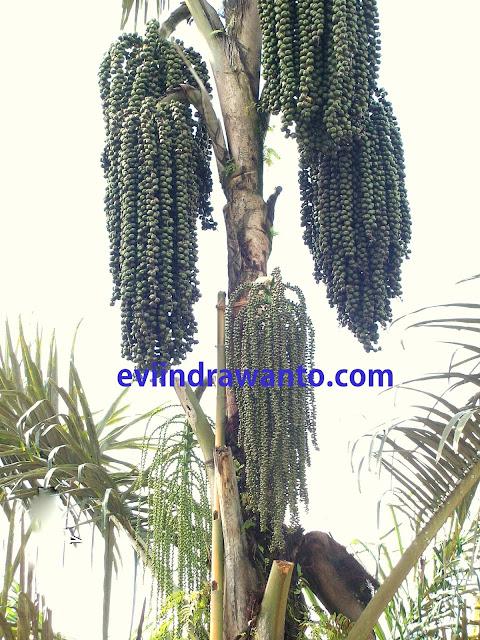 Pohon buah atep atau pohon kolang kaling